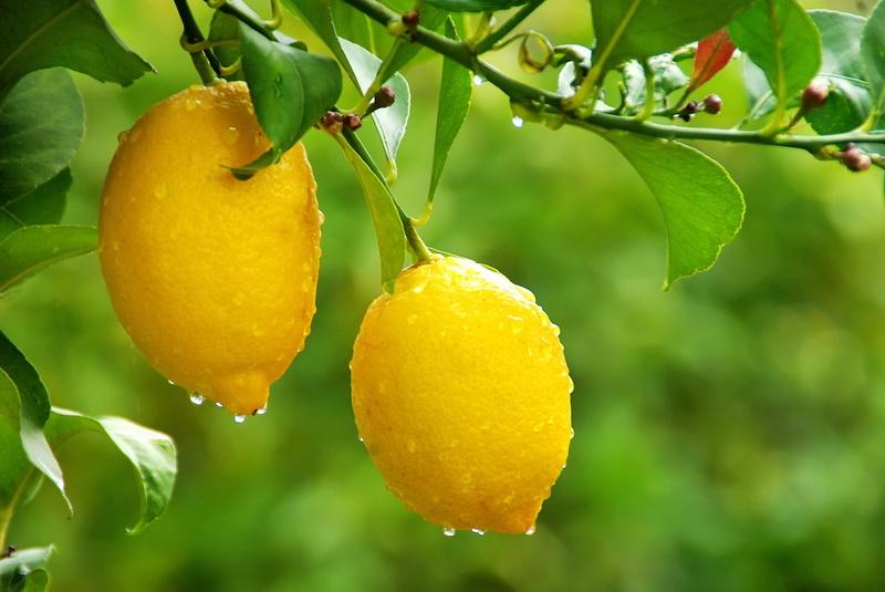 Orezivanje limuna  potpuno drugačiji princip orezivanja