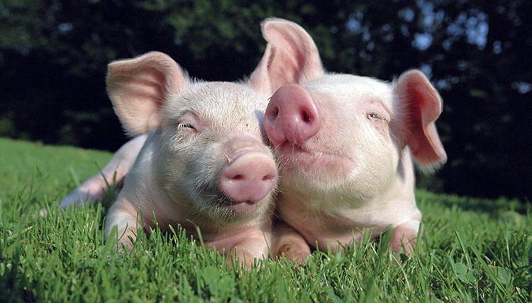Ukida se obavezna vakcinacija svinja protiv klasične kuge
