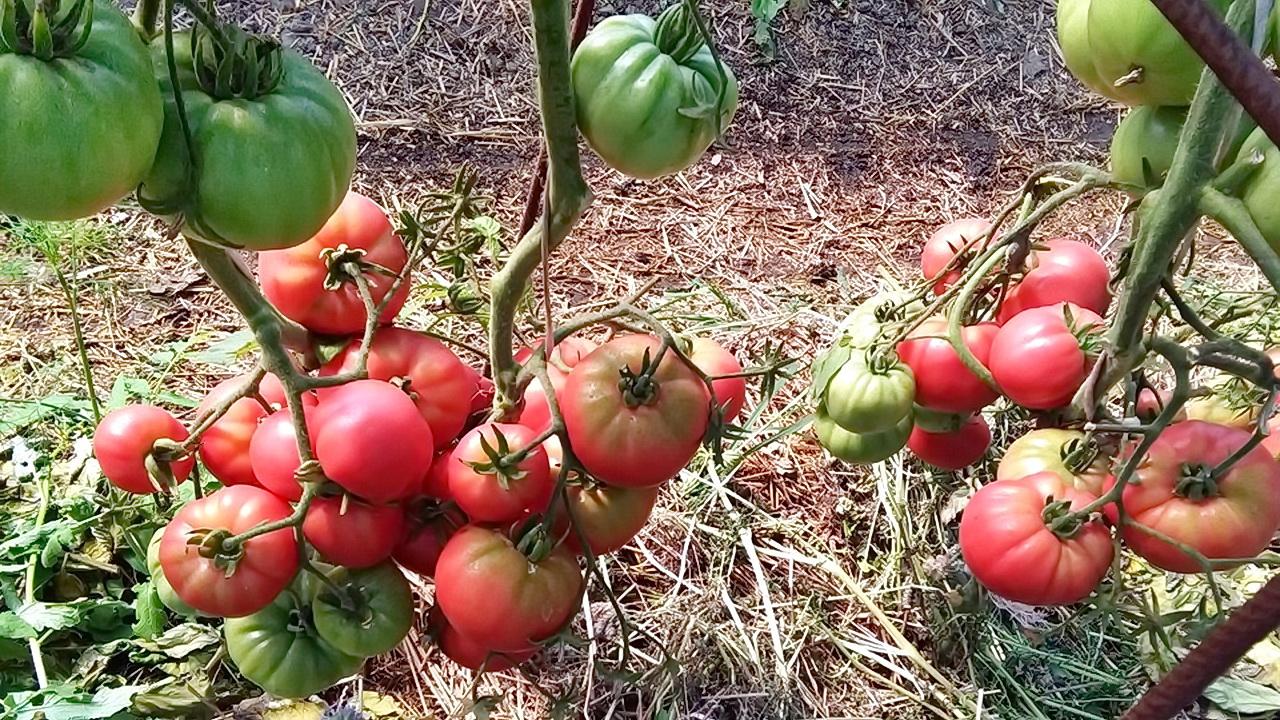 Kidanje lišća kod paradajza, kada, koliko, zašto? OD ČEGA ZAVISI OPLODNJA PARADAJZA