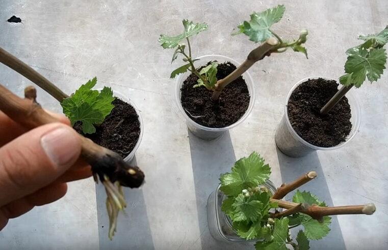Razmložavanje vinove loze – jednostavno i uspešno