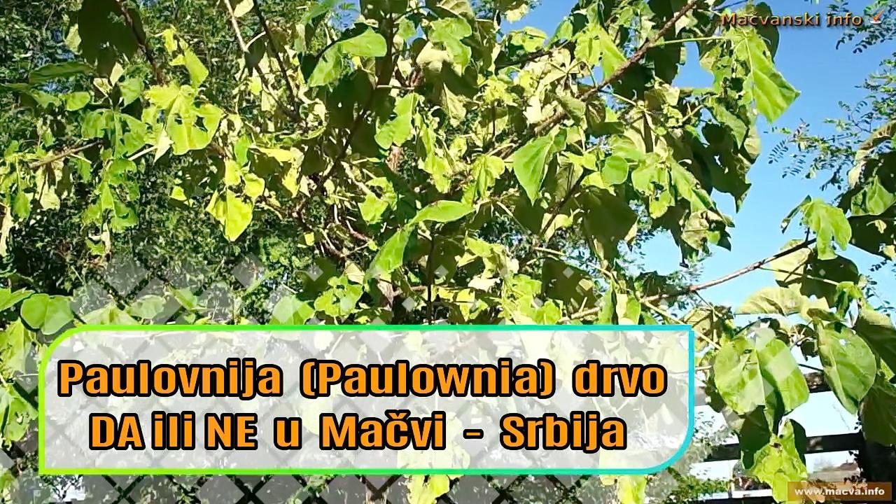 Paulovnija (Paulownia) drvo DA ili NE u Mačvi