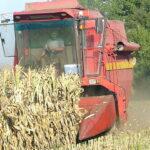 Žetva kukuruza, loša buduća klimatska prognoza